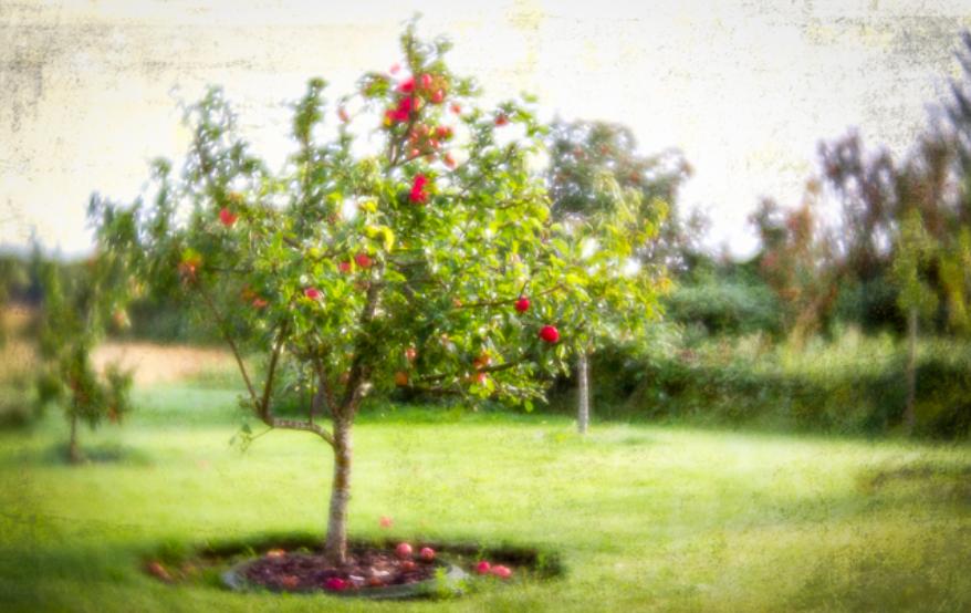 Æblesæsonen er over os