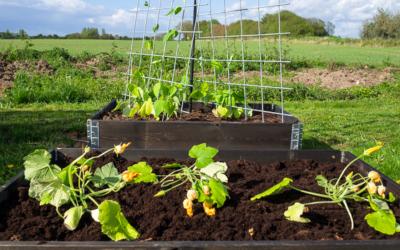 De første grøntsager på friland