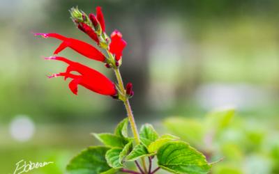 Ananassalvien blomstrer
