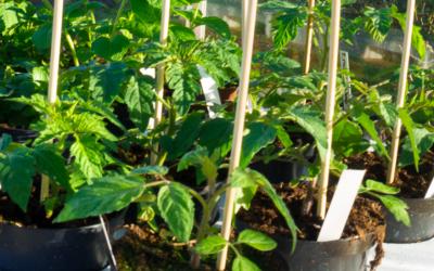 Valg af tomatplanter i 2015