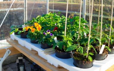 Så kom tomatplanterne i hus