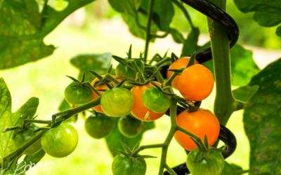 De første tomater