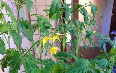 Tomatplanterne blomstrer