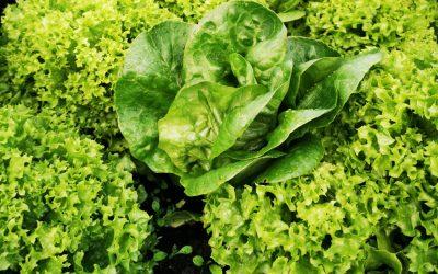 Vi har masser af salat – også om sommeren!